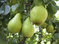 Rich harvest branch with juicy pears ripe Royalty Free Stock Photo