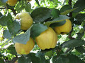 Rich harvest juice ripe yellow quinces hanging on branch a Royalty Free Stock Image