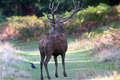 Richmond park london old stag elderly isolated from the herd Stock Photo