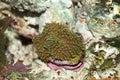 Ricordea coral Royalty Free Stock Photo
