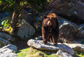 Ridge mountain black bear bleu Images libres de droits