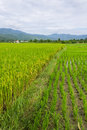 Ridge mountain and rice field in thailand chiangmai northen Stock Photos