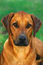 Ridgeback portrait Royalty Free Stock Image