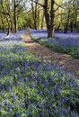 The Ridgeway path through Bluebell Wood Pitstone Hill The Chilterns Buckinghamshire Home Counties En Royalty Free Stock Photos