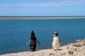 Ridiculous couple of penguins Magellanic on the Atlantic coast. Stock Photo