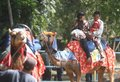 Riding camel people a in solo central java indonesia Royalty Free Stock Photo