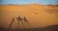 Riding camels across the Sahara desert, with shadows Royalty Free Stock Photo