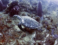 Ridley turtle swimming in coral, roatan, honduras Royalty Free Stock Photos