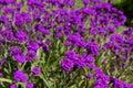 Rigid verbena purple flowers of Royalty Free Stock Photos