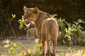 Rim lit lioness looking over her shoulder Royalty Free Stock Photo