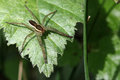 Rimmed hunting spider - Dolomedes fimbriatus Stock Photography