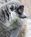 Ring angebundener Lemur Stockfoto
