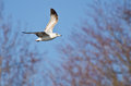 Ring billed gull flying among the trees Royalty Free Stock Photo