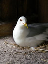 Ring billed gull nesting this was sitting on eggs in a nest she made of straw Royalty Free Stock Photos