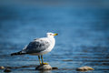 Ring billed gull on a rock at rivers edge Stock Image