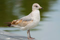 Ring billed gull standing dock fort myers florida Royalty Free Stock Photography