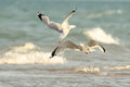 Ring Billed Gulls in Flight Royalty Free Stock Photo