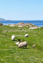 Ring of kerry sheeps and lambs eating grass on coast ireland Royalty Free Stock Image