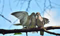Ring-necked dove family Royalty Free Stock Photo