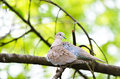Ring-necked dove female Royalty Free Stock Photo