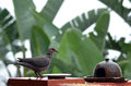 The ring-necked dove (Streptopelia capicola) Royalty Free Stock Photo