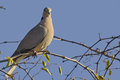 Ring-necked dove (Streptopelia capicola) Royalty Free Stock Photo