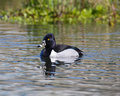 Ring necked duck on the pond male floating a with ripples Royalty Free Stock Photos
