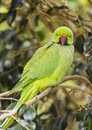 Ring necked parakeet green perched on a branch in a tree psittacula krameri Stock Images