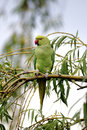 Ring necked parakeet psittacula krameri single bird on branch Royalty Free Stock Image