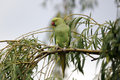 Ring necked parakeet psittacula krameri single bird on branch Stock Photography