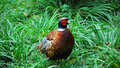 Ring necked pheasant Royalty Free Stock Images