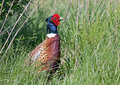 Ring-necked Pheasant Stock Photo