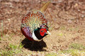 Ring-necked pheasant 3 Royalty Free Stock Images