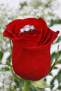 Ring in petals of red rose Stock Photo