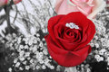 Ring in Red Rose Royalty Free Stock Image