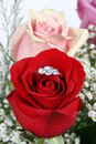 Ring in Red Rose, Closeup Royalty Free Stock Photo