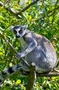 Ring tail lemur Royalty Free Stock Photo