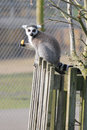 Ring tail lemur sitting on a fence Royalty Free Stock Photo