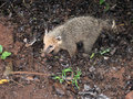 Ring tailed coati nasua nasua the is found in the jungles and rainforests of south america where it lives both on the ground and Royalty Free Stock Image