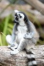 Ring Tailed Lemur Royalty Free Stock Photo