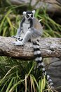 Ring tailed lemur Fotografia Stock