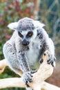 Ring-tailed lemur aka Lemur catta  face close up portrait Royalty Free Stock Photo