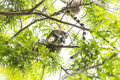 Ring tailed Lemur and baby on a green branch tree in Madagascar Royalty Free Stock Photo