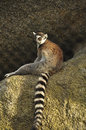 Ring tailed lemur big brown resting on a rock Royalty Free Stock Images