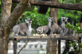 Ring tailed lemur the can be found in madagascar Stock Photo