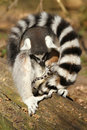 Ring-tailed lemur caring for her baby Royalty Free Stock Photography