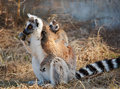 Ring tailed lemur catta with baby Stock Photos