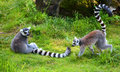 The ring-tailed lemur Royalty Free Stock Photo