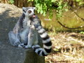 Ring-tailed lemur cleaning tail portrait Royalty Free Stock Photo