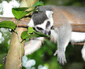 Ring tailed lemur close up of catta Stock Photography